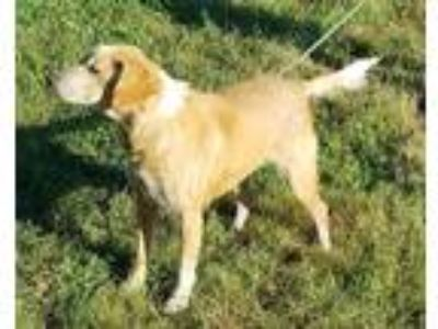 Adopt Saturday a Red/Golden/Orange/Chestnut - with White Brittany / Collie /