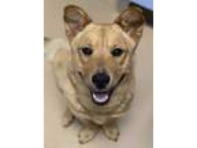 Adopt Bam Bam a Red/Golden/Orange/Chestnut Golden Retriever / Corgi / Mixed dog