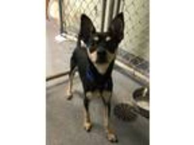 Adopt Pumpkin a Black - with Tan, Yellow or Fawn Miniature Pinscher / Mixed dog