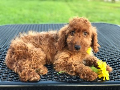 Goldendoodle PUPPY FOR SALE ADN-105316 - Liz Mini Goldendoodle
