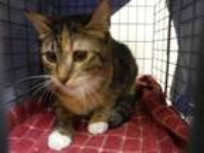 Adopt Asera a Gray or Blue Domestic Shorthair / Domestic Shorthair / Mixed cat