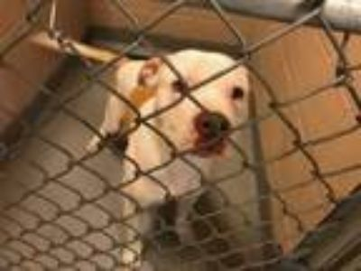 Adopt PETEY a White - with Tan, Yellow or Fawn American Pit Bull Terrier / Mixed