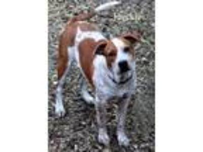 Adopt FRECKLES a Catahoula Leopard Dog