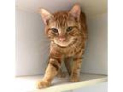 Adopt Heathcliff a Orange or Red Tabby Domestic Shorthair / Mixed cat in
