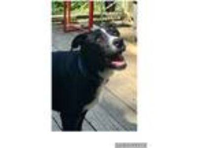 Adopt Barbara a Black - with White Labrador Retriever / Mixed dog in Parsippany