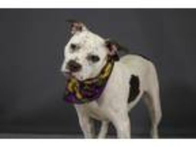 Adopt PARIS a Pit Bull Terrier, Mixed Breed