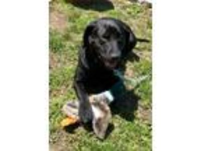 Adopt Dani a Black Labrador Retriever