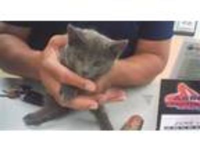 Adopt R231502 a Domestic Short Hair
