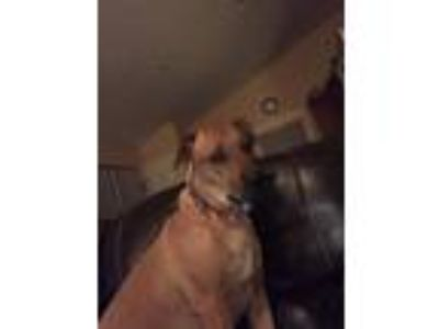 Adopt Bella a Red/Golden/Orange/Chestnut Retriever (Unknown Type) / American Pit