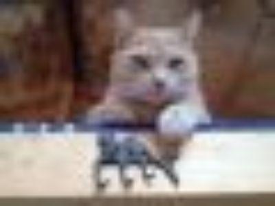 Juno Tabby Cat