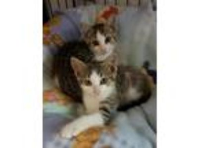 Adopt Twin Kittens a Domestic Short Hair, Tabby