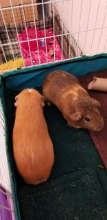 Pippin & Bailey FREE Male Guinea Pigs.