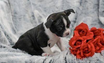 Bella Female Boston Terrier AKC