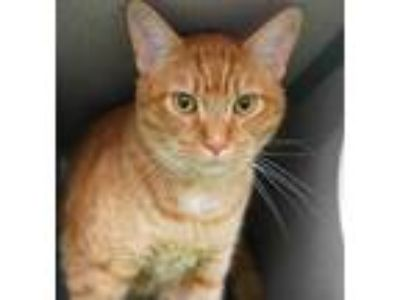 Adopt Garfield a Orange or Red Domestic Shorthair / Domestic Shorthair / Mixed