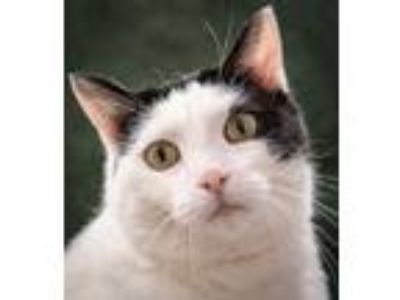 Adopt Catdog a White Domestic Shorthair / Domestic Shorthair / Mixed cat in New