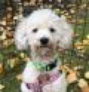 Nico from Korea Poodle Dog