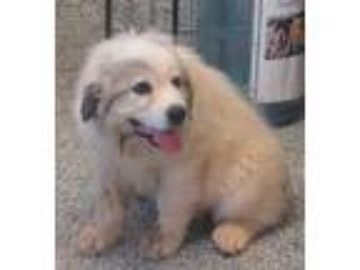 Adopt Tuffy a White Great Pyrenees / Mixed dog in Pickens, SC (25766907)