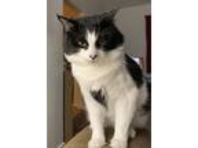 Adopt Nibbler a Black & White or Tuxedo Domestic Mediumhair cat in Pitcairn