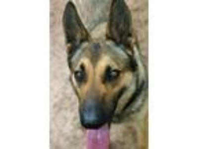 Adopt Dresden a Brown/Chocolate - with Black German Shepherd Dog / Mixed dog in