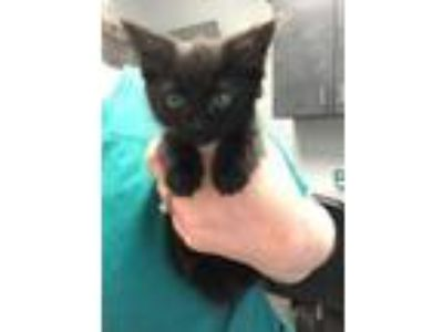 Adopt Cardinal Kitten 5 a Domestic Medium Hair