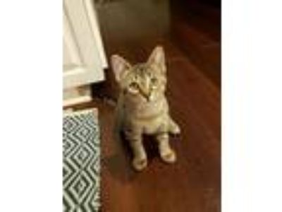 Adopt Scarlett C2788 a Domestic Short Hair