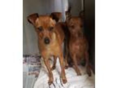 Adopt Frieda a Miniature Pinscher