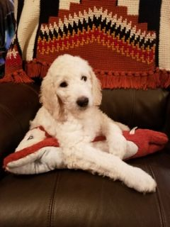 Goldendoodle PUPPY FOR SALE ADN-106360 - English Cream Goldendoodle Puppy REDUCED