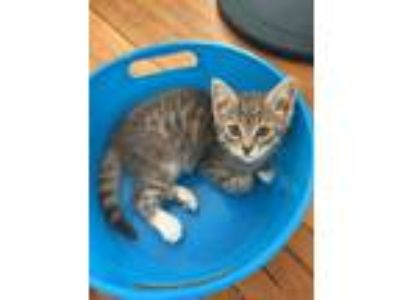 Adopt Baby Cakes a Gray, Blue or Silver Tabby Domestic Shorthair / Mixed cat in