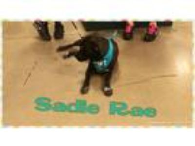Adopt Sadie a White - with Black Labrador Retriever / Pit Bull Terrier / Mixed