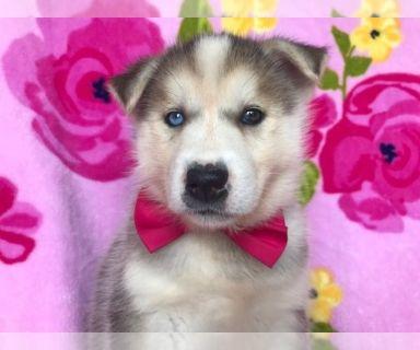 Labrador Retriever-Siberian Husky Mix PUPPY FOR SALE ADN-130473 - Kim the Siberian Husky Labrador Mix