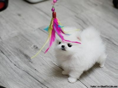 Pomeranian Puppies For Sale Classifieds In Plano Texas Clazorg
