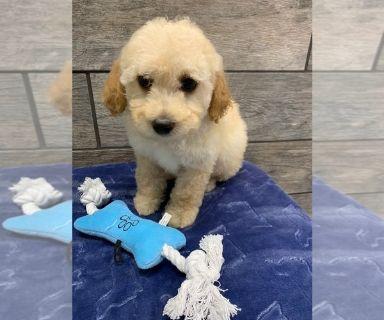 Cantel PUPPY FOR SALE ADN-130104 - Bichon Poodle