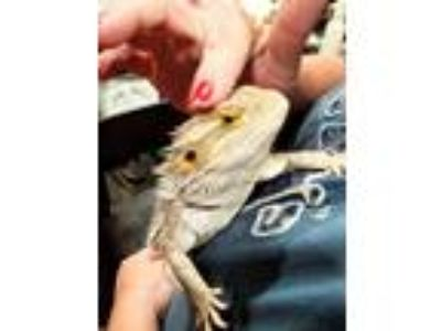 Adopt El a Lizard reptile, amphibian, and/or fish in San Diego, CA (25918449)