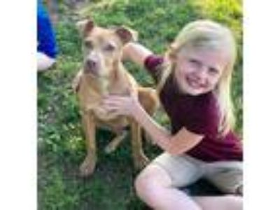 Adopt Tessa a American Staffordshire Terrier / Pit Bull Terrier / Mixed dog in