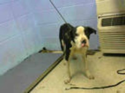 Adopt JR a Black - with White American Pit Bull Terrier / Mixed dog in Atlanta
