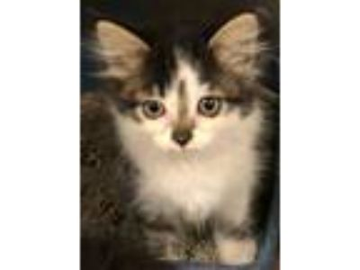 Adopt Apple (Lady Lane) a Domestic Short Hair