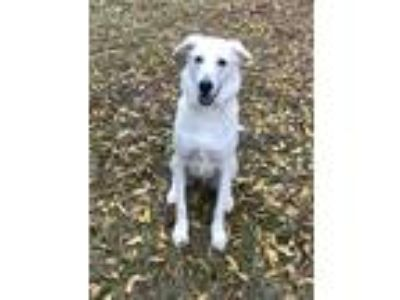 Adopt Jerry a White Great Pyrenees / Shepherd (Unknown Type) / Mixed dog in