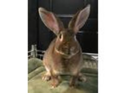Adopt Edward a Agouti Mini Rex / Mixed (short coat) rabbit in Waynesboro