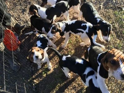6 Females Treeing Walker Counhound puppies for free to Good home