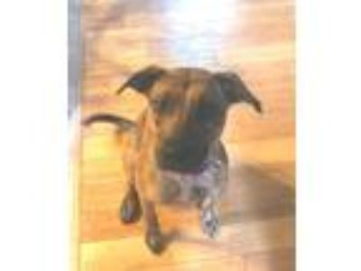 Adopt TUCKER a Brindle Boxer / Plott Hound / Mixed dog in Turnersville