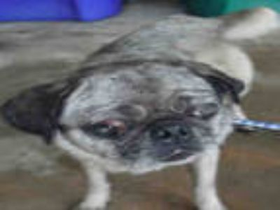 Adopt HARLY a Brown/Chocolate Pug / Mixed dog in Doral, FL (25583291)