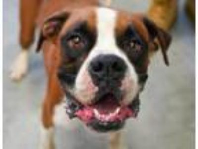 Adopt Meatball a Boxer, Mixed Breed