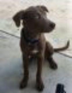 Tucker Weimaraner - Doberman Pinscher Dog