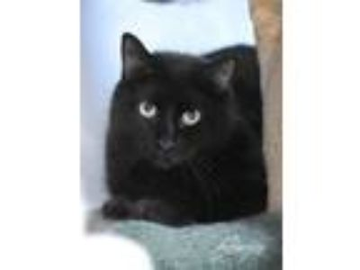 Adopt Charming a All Black Domestic Mediumhair / Mixed (medium coat) cat in