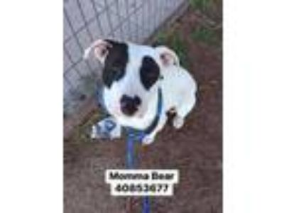 Adopt Momma Bear a White American Pit Bull Terrier / Mixed dog in Fort Worth