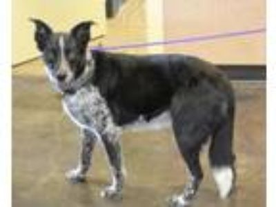 Adopt Ebby a Border Collie, Australian Cattle Dog / Blue Heeler