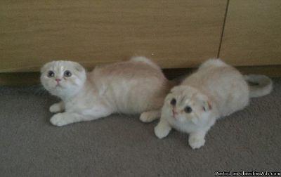 Cream Scottish Fold kittens