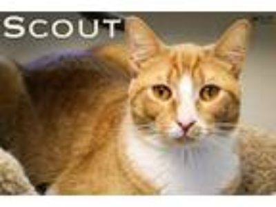 Adopt Scout a Orange or Red (Mostly) Domestic Shorthair (short coat) cat in