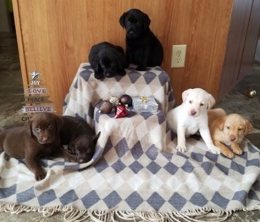 Labrador Retriever PUPPY FOR SALE ADN-107023 - ACA Labrador puppies