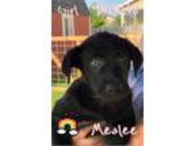 Adopt Mealee-Suzie Q Puppy a Husky / Labrador Retriever / Mixed dog in Crystal